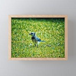 Blue Jay Framed Mini Art Print