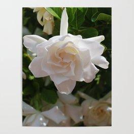 Florida Gardenia Poster