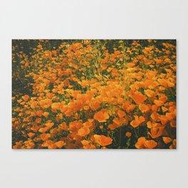 California Poppies 003 Canvas Print