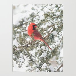 Cardinal on a Snowy Cedar Branch (sq) Poster