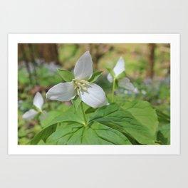 Sweet White Trilliums Art Print