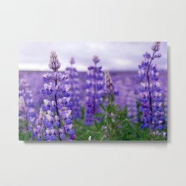 Icelandic lupine flowers Metal Print