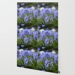 Flowering Agapanthus Wallpaper