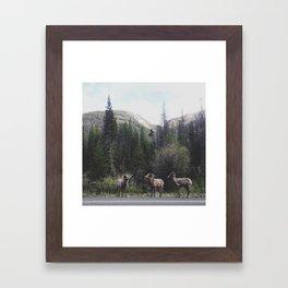 Bighorn Sheep Framed Art Print