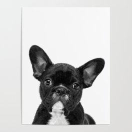Black and White French Bulldog Poster