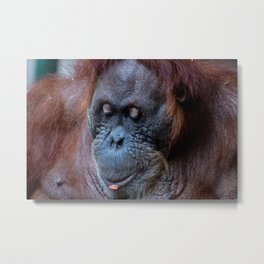 Portrait of a female orangutan Metal Print