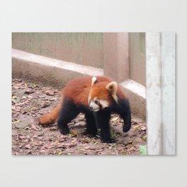 Chongqing Red Panda | Panda roux Canvas Print