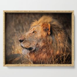 Lion in the evening light, South Africa Serving Tray