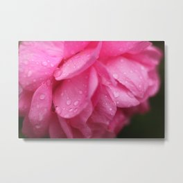 dew drops on rose petal Metal Print