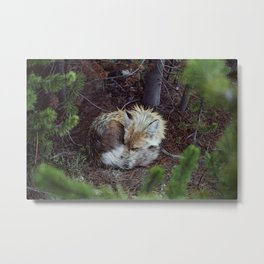Sleeping Fox Metal Print