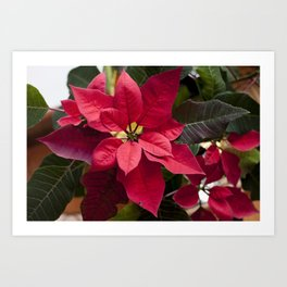 Red and Green Poinsettia Photography Print Art Print