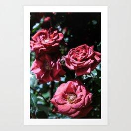Blooming roses Art Print