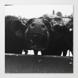 Snowy Cow #4 Canvas Print