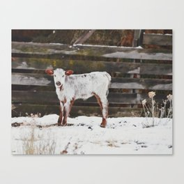 Calf Canvas Print