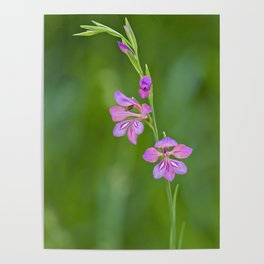 Beauty in nature, wildflower Gladiolus illyricus Poster