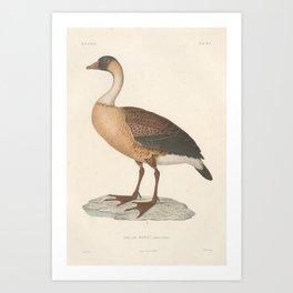 Hawaiian Goose, Nene, branta sandvicensis3 Art Print