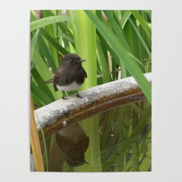 Black Phoebe at the Fountain Poster