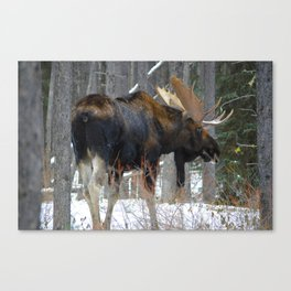 Massive male moose on the loose in Jasper National Park Canvas Print
