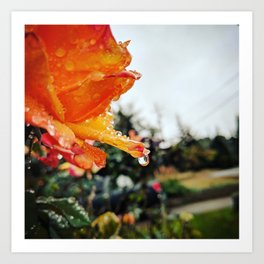 Orange Roses After the Rain Art Print