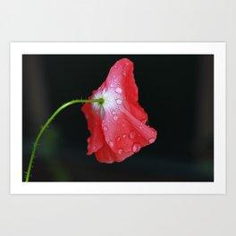 Poppy With Dew Art Print