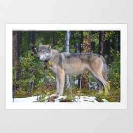 Wolf encounter in Jasper National Park Art Print