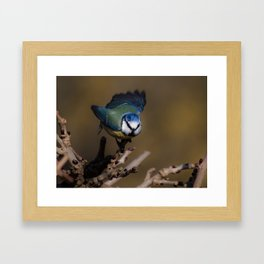 Blue tit about to fly off Framed Art Print