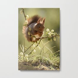 squirrel is standing on willow branches Metal Print