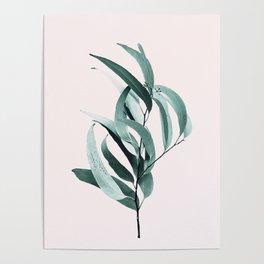 Eucalyptus II - Australian gum tree Poster