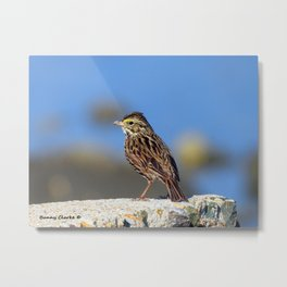 Male Savannah Sparrow Metal Print
