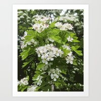 Hawthorn Blossoms on a Rainy Morning Art Print