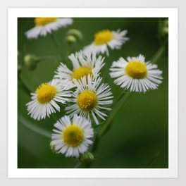 Miniature wild flower daisies in bloom Art Print