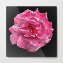 Pink and White Rose Flower 993 Metal Print