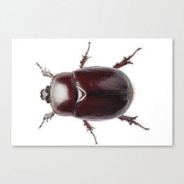 "European rhinoceros beetle female ""Oryctes nasicornis"" species Canvas Print"