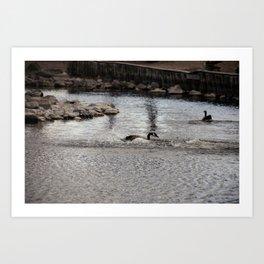 Landing Canadian Goose Art Print
