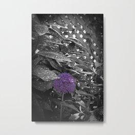 Purple Ornamental Onion Flower Black and White Photo Nature Metal Print