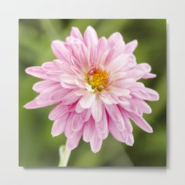 Padre Cerise Belgian Mum Bud and Bloom Metal Print