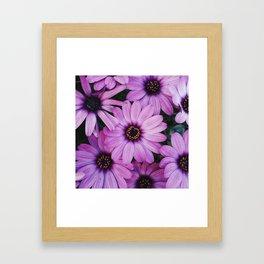 Purple African Daisies Framed Art Print
