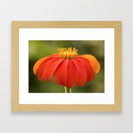 Mexican Sunflower Framed Art Print