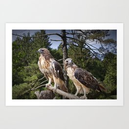 Pair of Red-tail Hawks Art Print