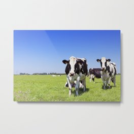 Cows in a fresh grassy field on a clear day Metal Print