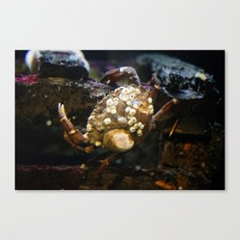 Crab on a Crate Canvas Print