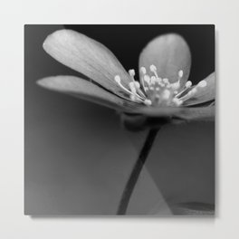 Blue spring flower Hepatica in bw III Metal Print