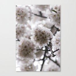 Light Pink Cherry Blossoms Photograph Canvas Print
