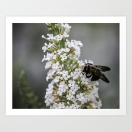 Bumblebee on the White Butterfly Bush in Ohio Art Print