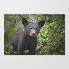 Black Bear Cub in Northern Minnesota Photograph Canvas Print