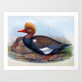 Red Crested Duck, Duck, Branta rufina, Antique Bird Print by HC Richter, Birds of Great Britain Art Print
