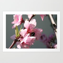 Unidentified Winged Insect On Peach Tree Blossom Art Print