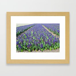 A field of blue hyacinth in Holland. Shallow depth of field. Focus on the foreground Framed Art Print