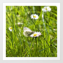 WHITE BUTTERFLY on COMMON DAISY Art Print