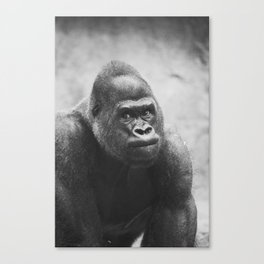 The Look Of A Silver Back Canvas Print